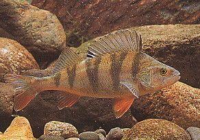 poisson eau douce brème sandre brochet gardon perche silure